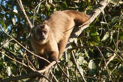 A01_0670_Capuchin_Monkey_br12a-1788