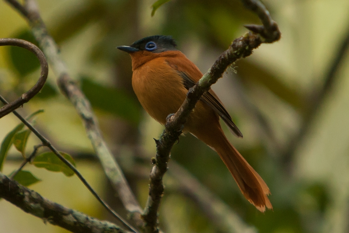 N51_2000_Madagascar_Paradise_Flycatcher_mg12a-5888