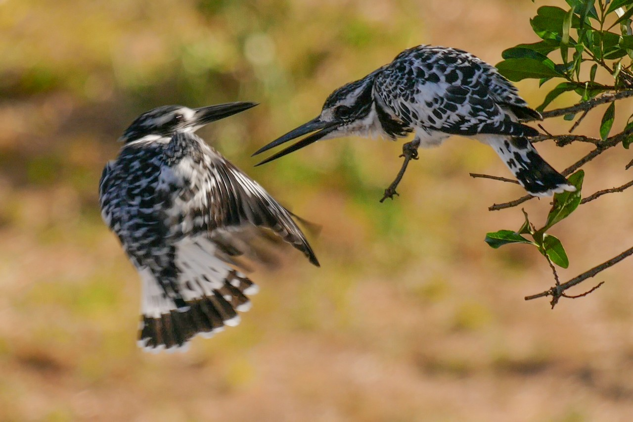 1701_5600_23ky-Pied_Kingfisher-Pied_Kingfisher_P1030102-2_4KP