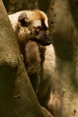 H31_1100_Red-fronted_Brown_Lemur_mg12a-1501