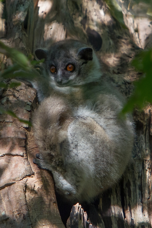 H51_1000_White-footed_Sportive_Lemur_mg12a-0578