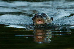 D91_2000_Giant_River_Otter_br12a-2108