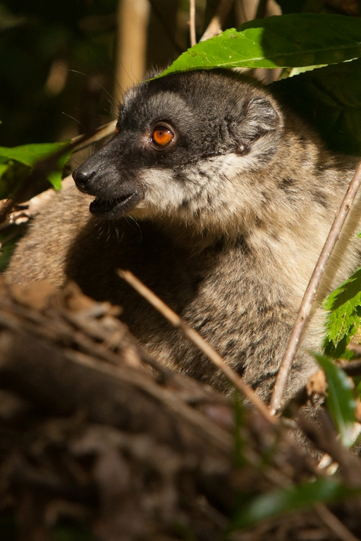 H36_1100_Common_Brown_Lemur_mg12a-5595