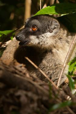 H36_1100_Common_Brown_Lemur_mg12a-5595