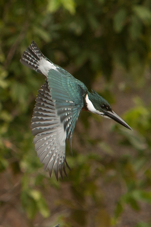 N53_1000_Green_Kingfisher_br12a-9113