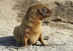1150_M26_Galapagos_Sealion_D10a_Fernandina_784Q6431