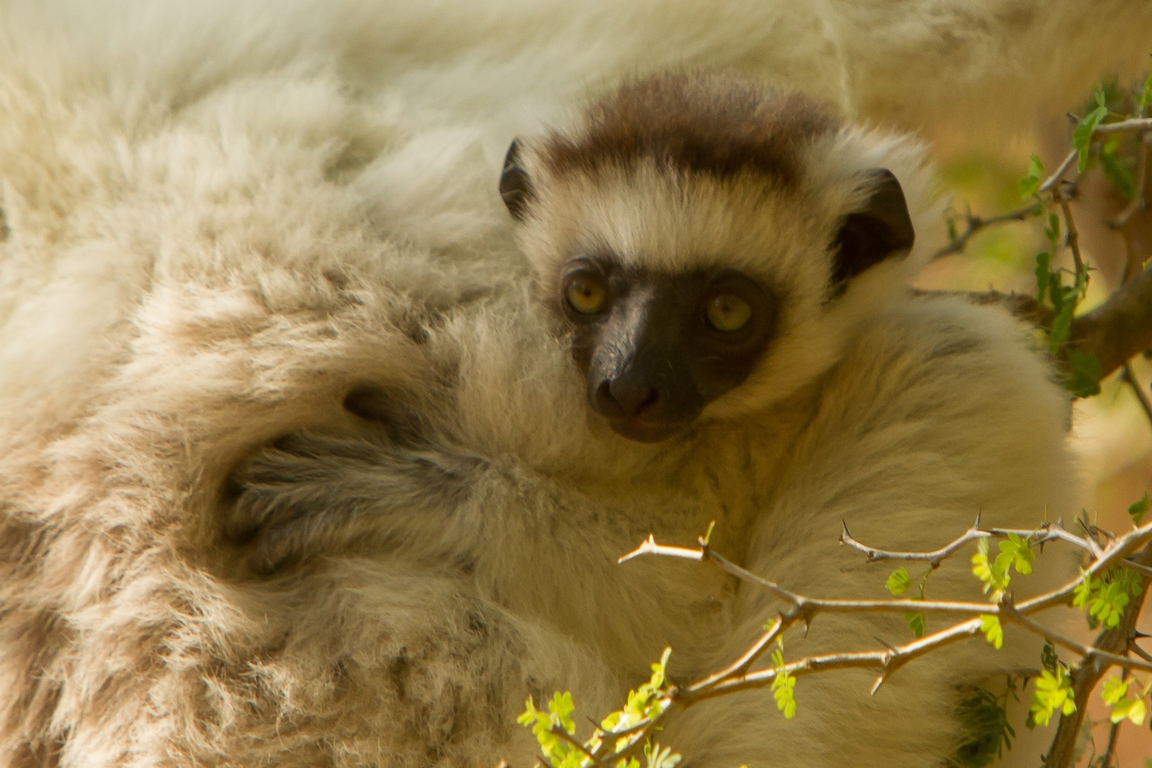 H11_2000_Verreauxs_Sifaka_mg12a-1370