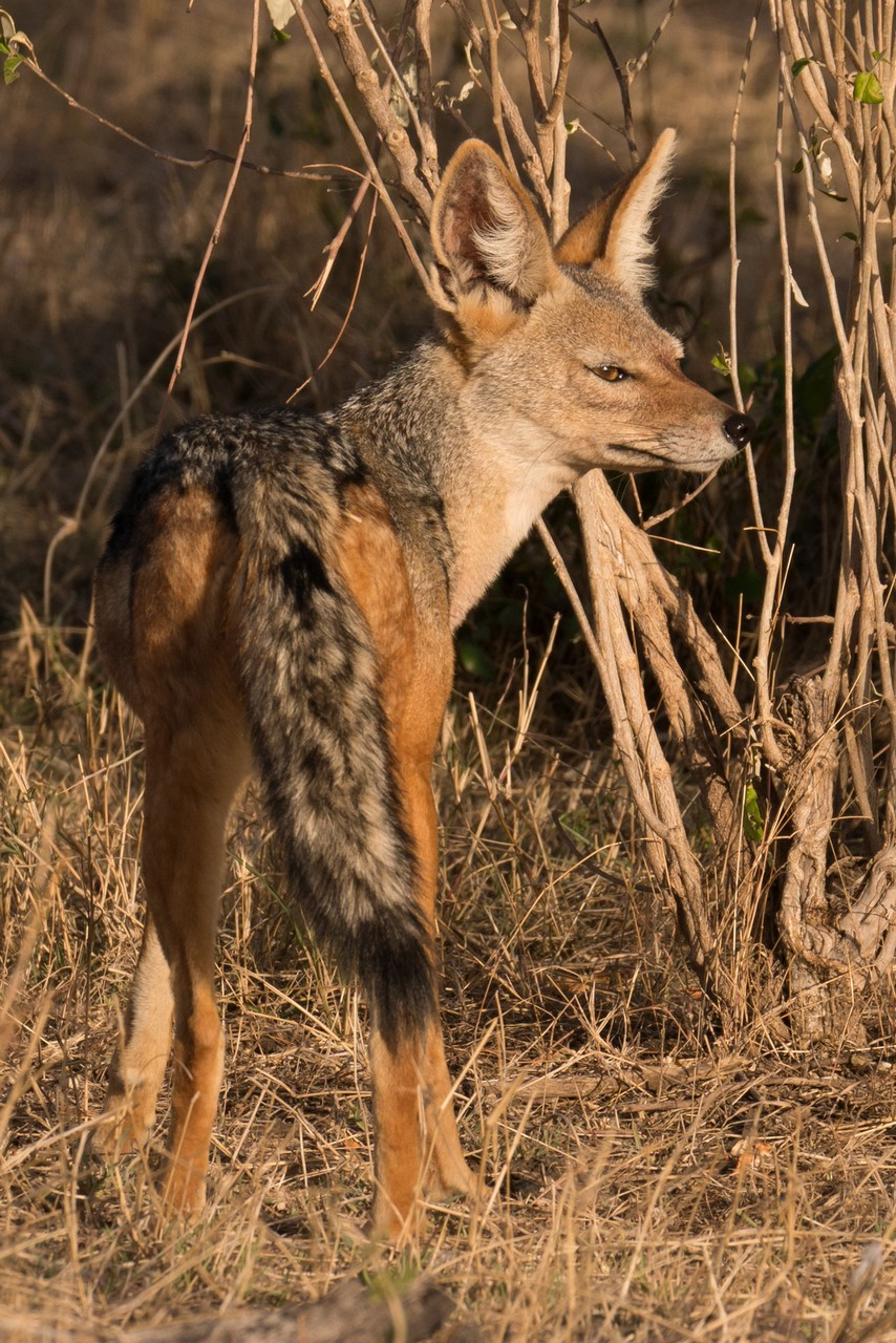 1701_4600_23ky-Black-backed_Jackal-1030192