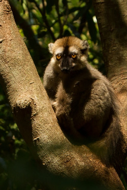 H31_1300_Red-fronted_Brown_Lemur_mg12a-1504
