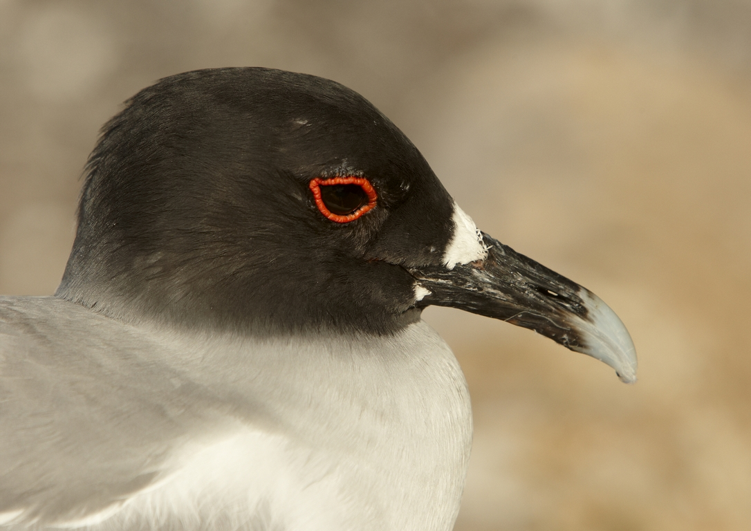 5300_N66_Swallow-tailed_Gull_D06a_Genovesa_784Q5420