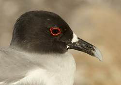 5300_N66_Swallow-tailed_Gull_D06a_Genovesa_784Q5420