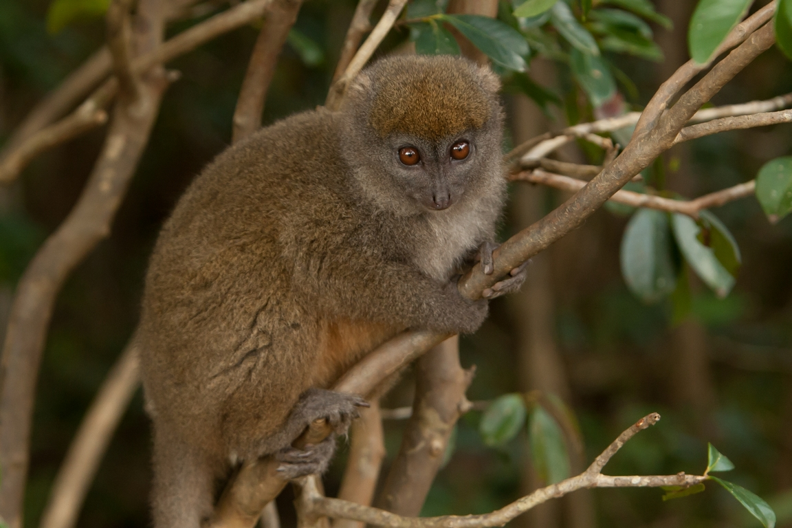 H41_0500_Eastern_Grey_Bamboo_Lemur_mg12a-5741