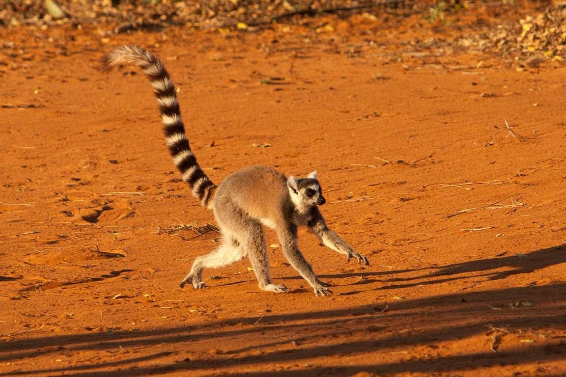 H21_4000_Ring-tailed_Lemur_mg12a-5145