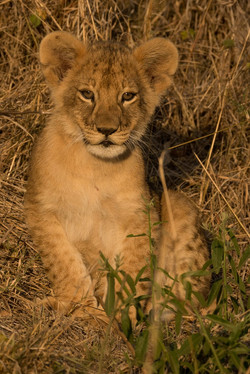 1701_0102_26ky-African_Lion-1050331