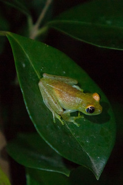 K51_1000_Madagascar_Tree_Frog_mg12a-6106