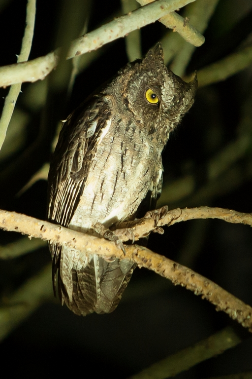 A93_1000_Madagascar_Scops_Owl_mg12a-5543