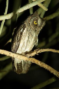 A93_1000_Madagascar_Scops_Owl_mg12a-5543