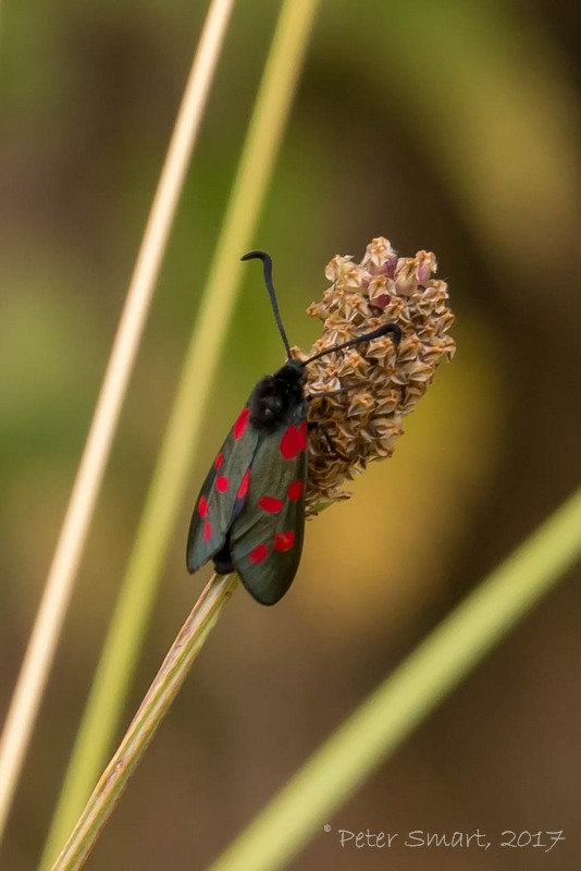 DeepingLakes_170626_0900_Burnet_Moth-1090480