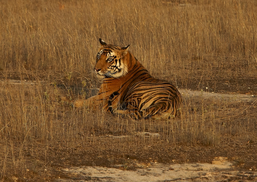 A04_1250_Bengal_Tiger_in10a_784Q9387