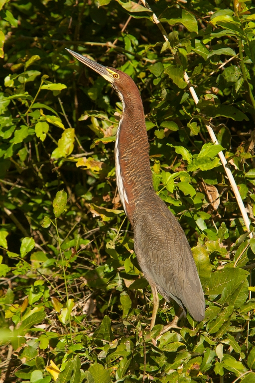 N65_1000_Rufescent_Tiger_Heron_br12a-0059