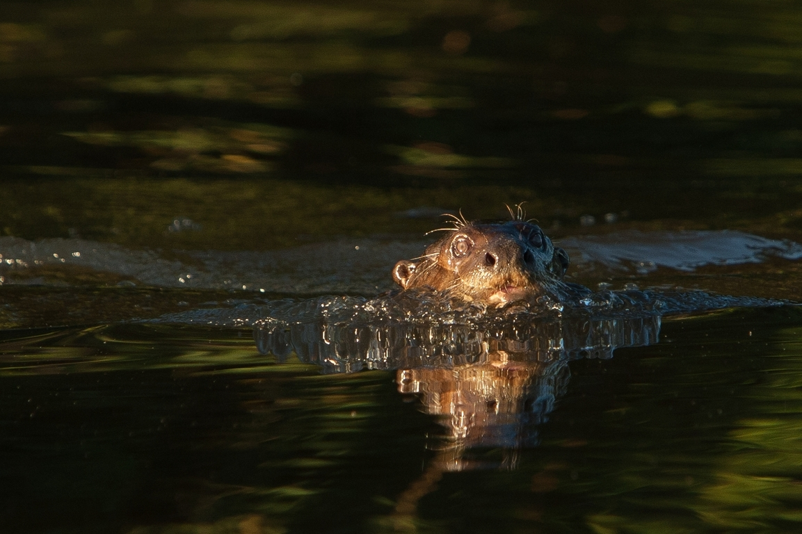 D91_1000_Giant_River_Otter_br12a-2142