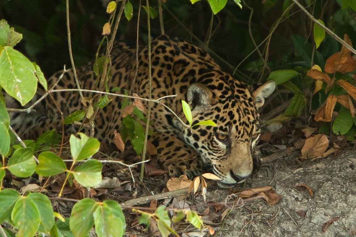 A11_6500_Jaguar_br12a-1570