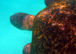 8000_S41_Pacific_Green_Turtle_IMG_6912