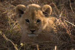 1701_4700_23ky-African_Lion-1020496