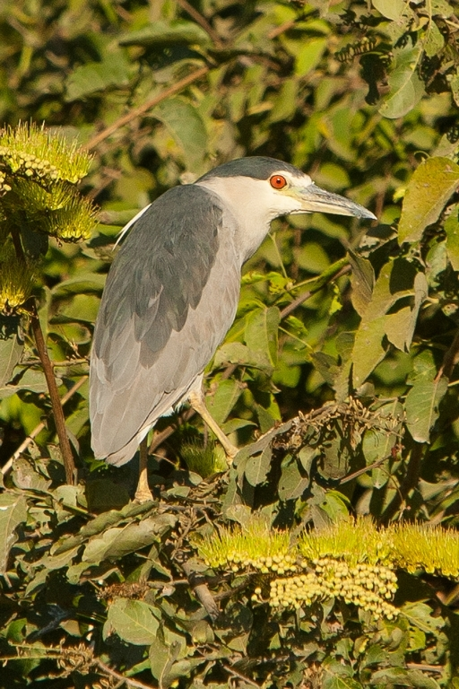 N63_1000_Black-crowned_Night_Heron_br12a-0389