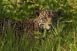 A01_0800_Jaguar_br12a-1465