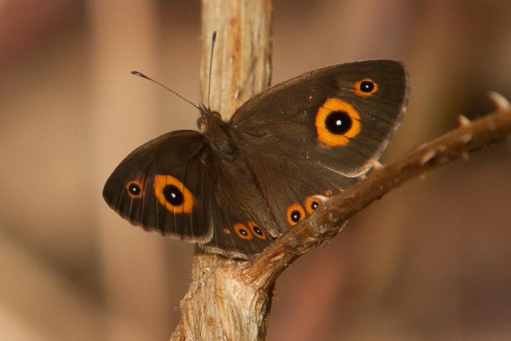 K40_1000_butterfly_mg12a-5761