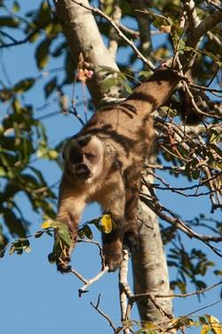 L71_1000_Capuchin_Monkey_br12a-1795