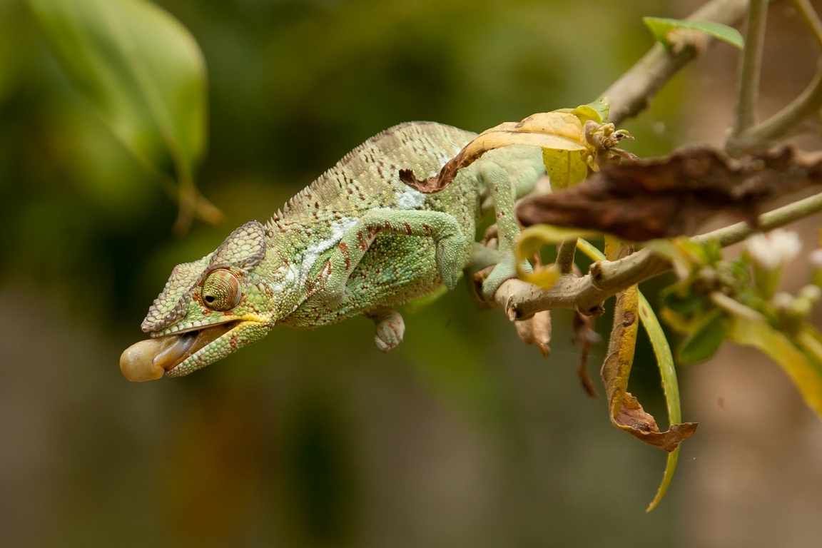 K84_1000_Panther_Chameleon_(C)_mg12a-6300