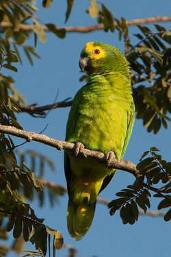 A01_0320_Blue-fronted_Parrot_br12a-1689