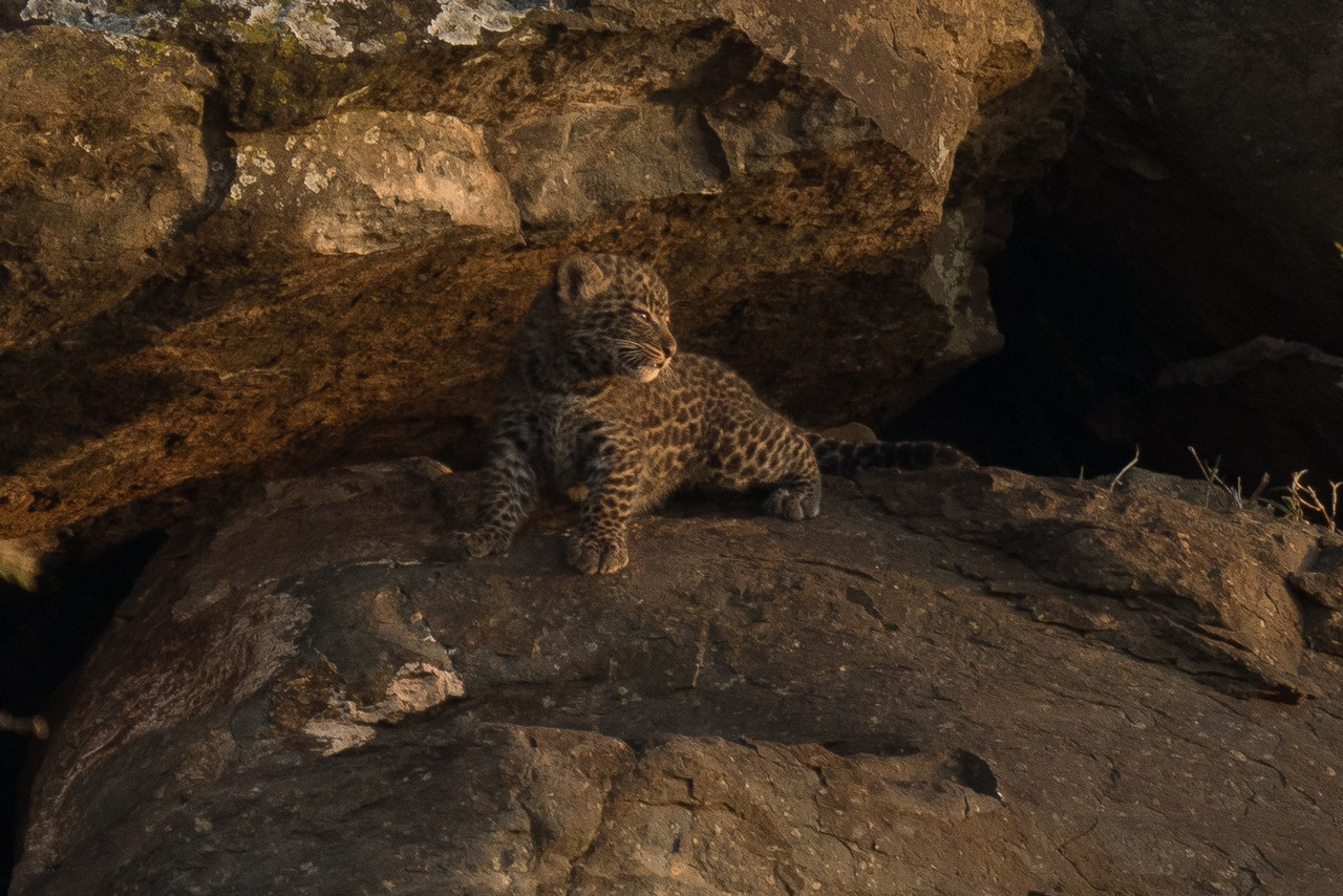 1701_1100_28ky-African_Leopard--1060296