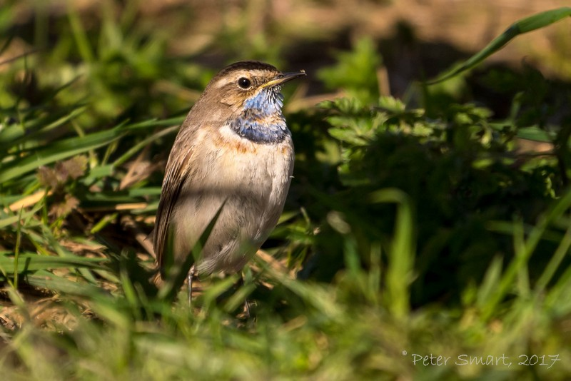 Lincolnshire_1900_WillowTreeFen_170325_Bluethroat-1070934