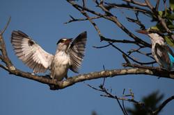 1701_2520_23ky-Striped_Kingfisher-1020824