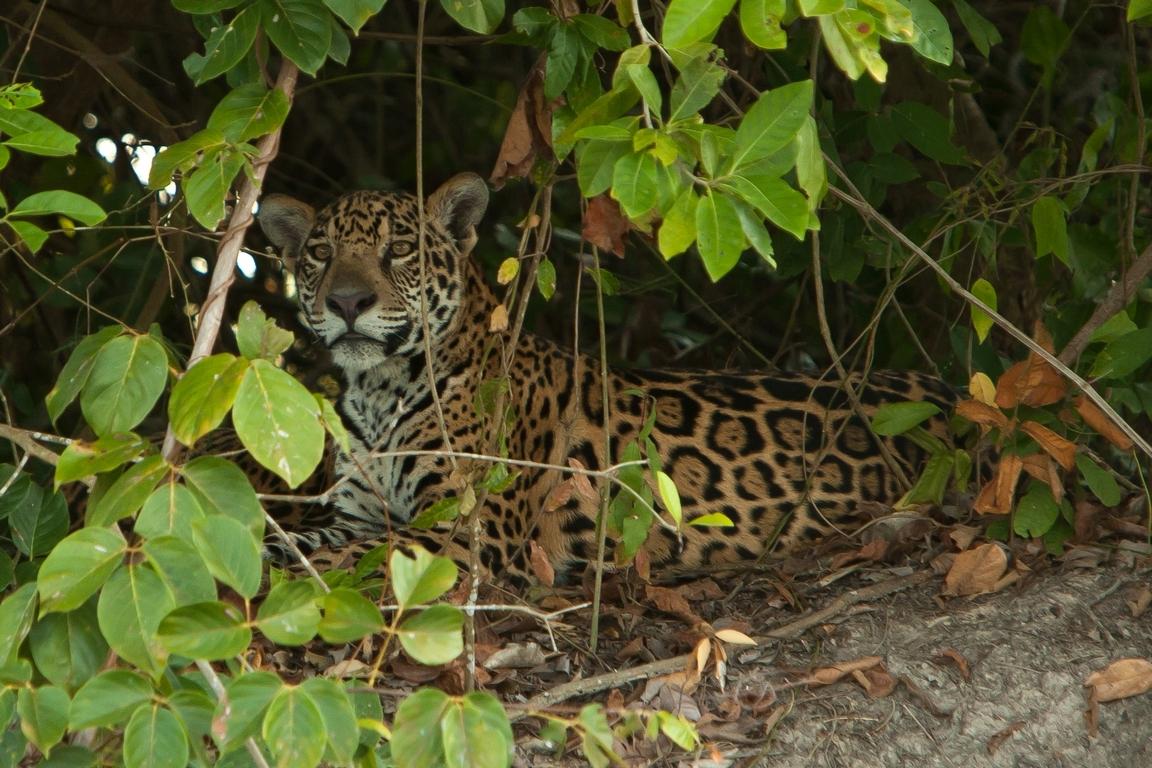 A11_8000_Jaguar_br12a-1629