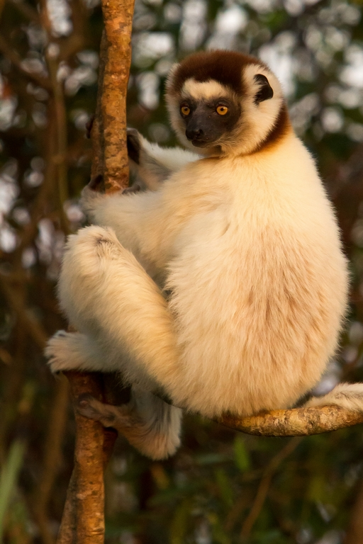 H11_1000_Verreauxs_Sifaka_mg12a-1112