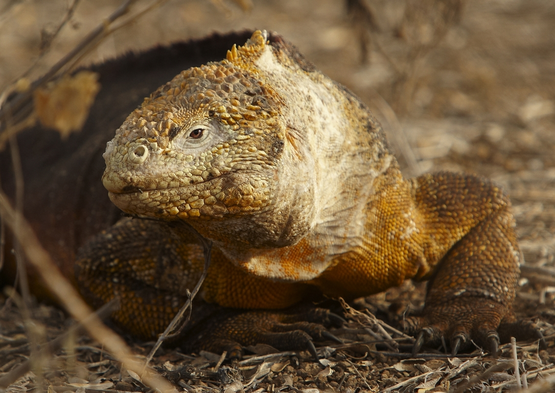 3500_K86_Land_Iguana_D08c_Santa_Cruz_(Dragon_Hill)_784Q6122
