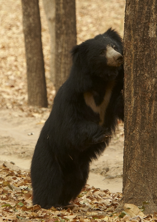 J01_1000_Sloth_Bear_in10a_784Q9681