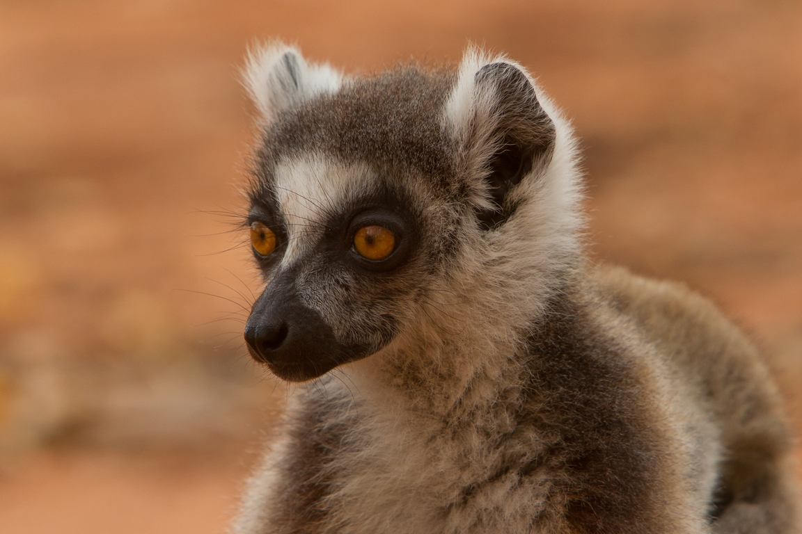 H21_3500_Ring-tailed_Lemur_mg12a-1525