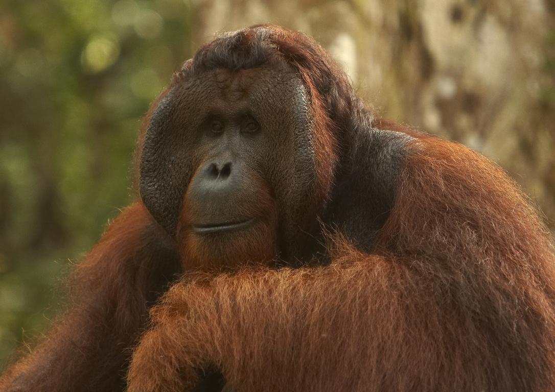 C74_500_Orangutan_bo09a_784Q7418