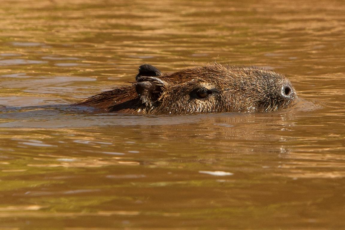 K96_1000_Capybara_br12a-0945