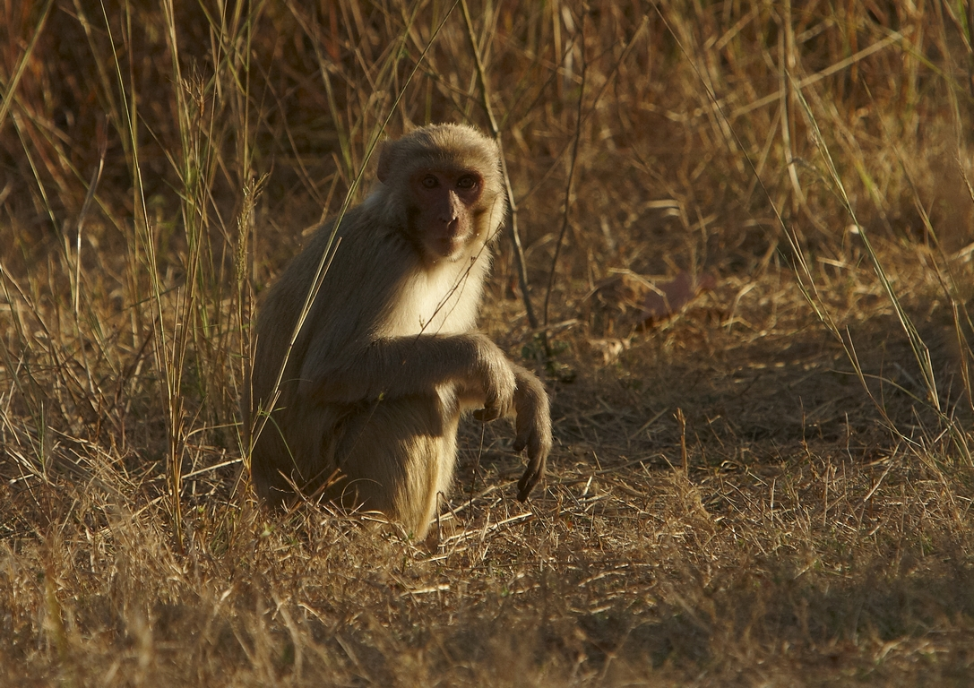 L71_1000_Rhesus_Macaque_in10a_784Q9218