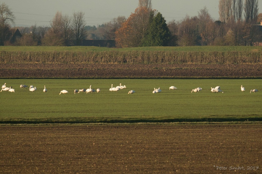 (Early rising!) Whooper Swans