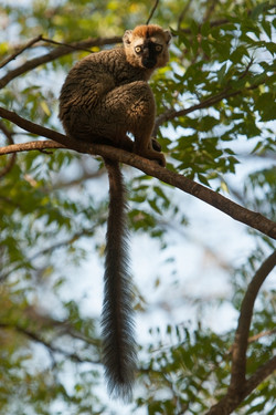 H31_1000_Red-fronted_Brown_Lemur_mg12a-5032