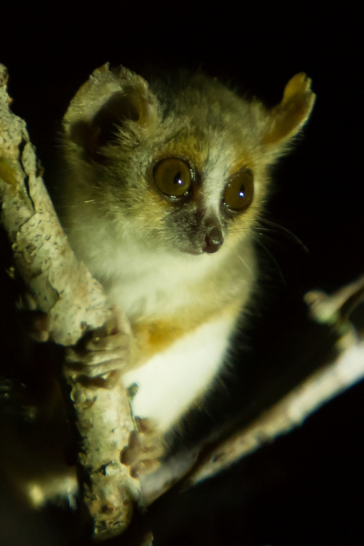 A86_1000_Grey_Mouse_Lemur_mg12a-1695
