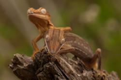A62_1000_Striped_Leaftail_(Dwarf)_Gecko_(C)_mg12a-6335