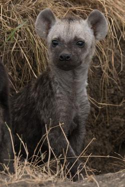 1701_7100_28ky-Spotted_Hyena-1060772